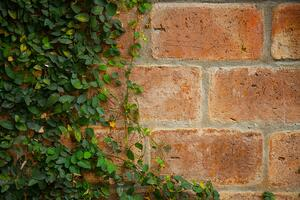 ivy-on-old-brick